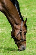 Cavallo (senza morso)